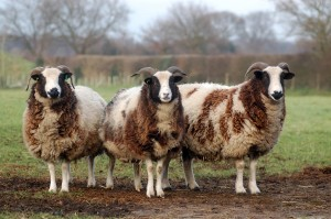 Jacobs Sheep