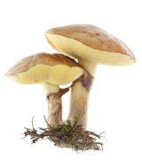 Fungi Picture