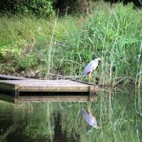 Little Budworth Mere - Heron.jpg
